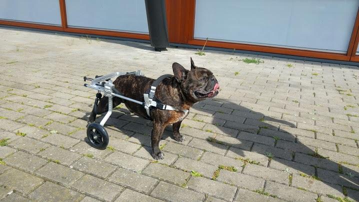 honden rolstoel Franse bulldog