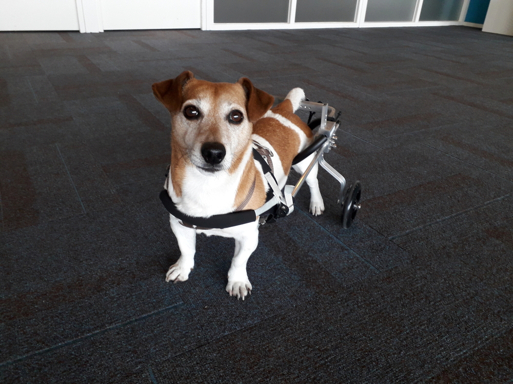honden rolstoel Jack Russel