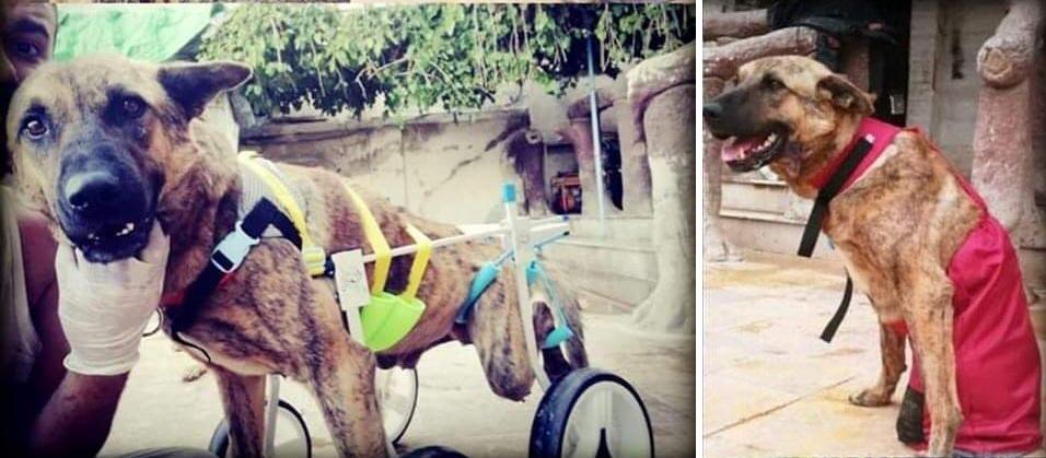 honden rolstoel Herdershond