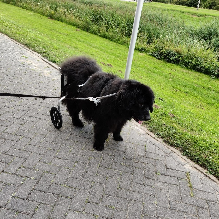 honden rolstoel newfoundlander