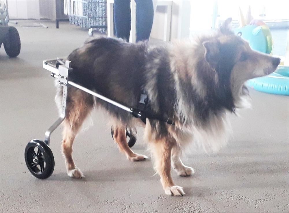 rolstoel hond