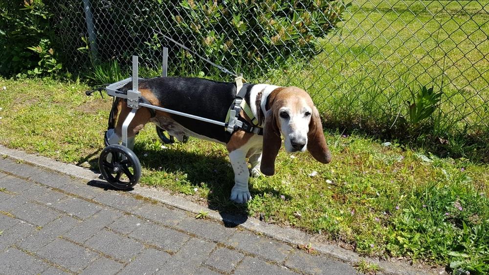 honden rolstoel Franse Basset