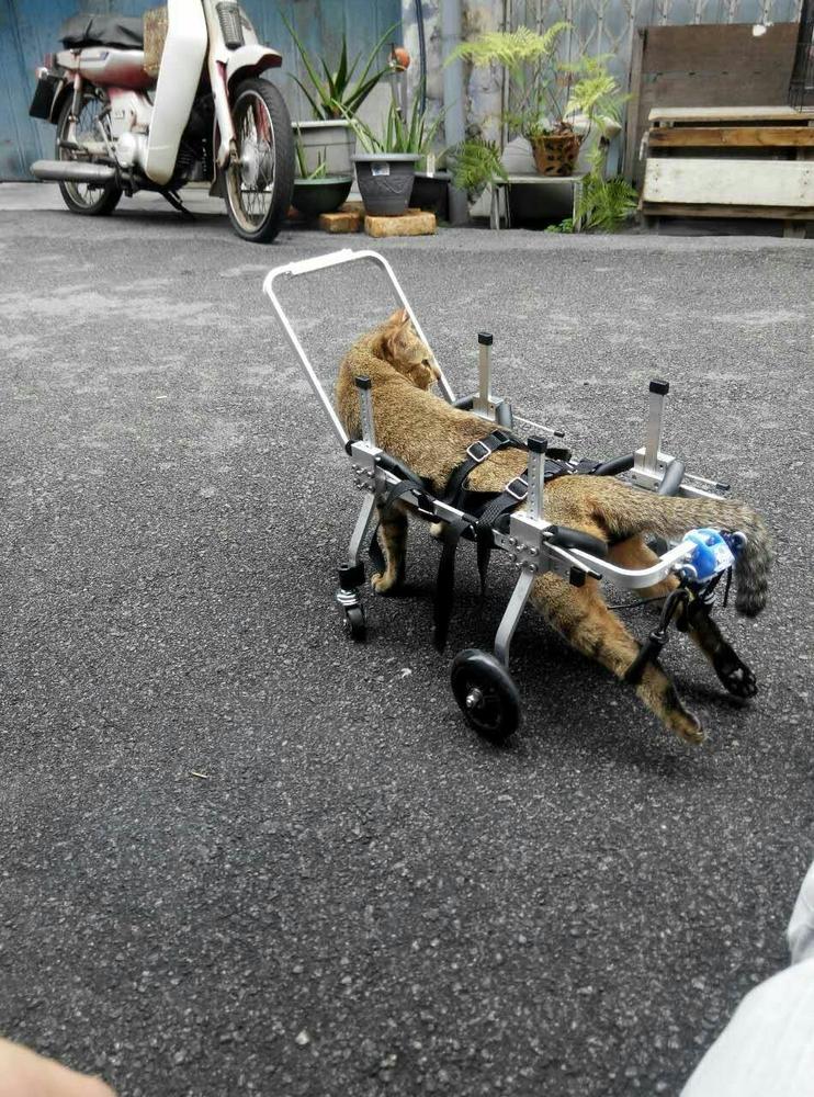 rolstoel kat